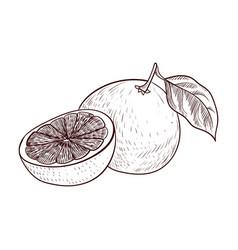 Drawing grapefruit vector