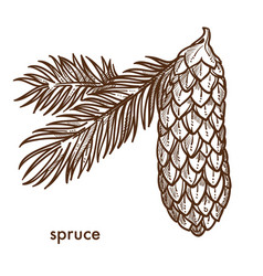 Spruce branch of tree leaves and cone isolated vector