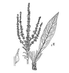 Verbascum speciosum vector