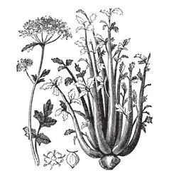 Celery vintage engraving vector image vector image