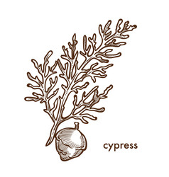 Cypress branch of plant with leaves and berries vector
