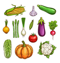 isolated color vegetables sketches set vector image