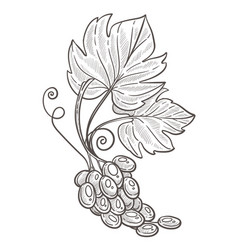 grape bunch with leaves isolated sketch berries vector image