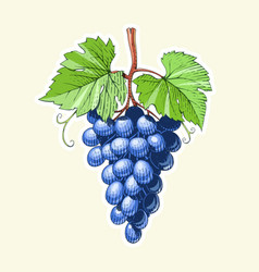 grapes bunch of berrys vector image