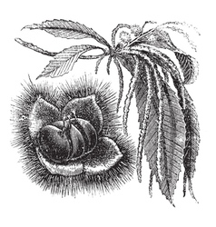 Chestnut vintage engraving vector