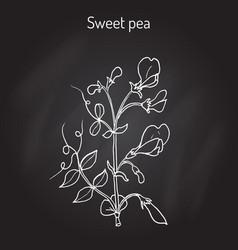 sweet pea lathyrus odoratus vector image vector image