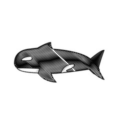 Orca whale wildlife marine aquatic vector