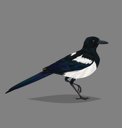 Realistic bird magpie isolated on a grey vector