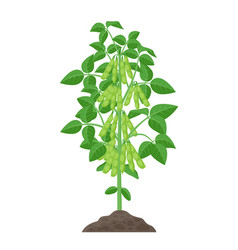 Soybean plant isolated on vector