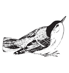 White breasted nuthatch vintage vector