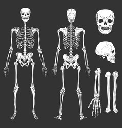 Human body skeleton bones and joints vector