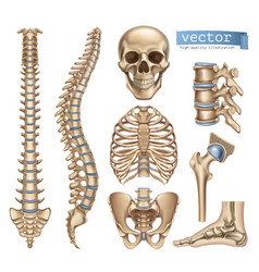 Human skeleton structure skull spine rib cage vector