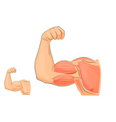muscles of the hand anatomy vector image