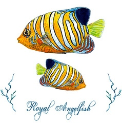 Royal Angelfish vector image