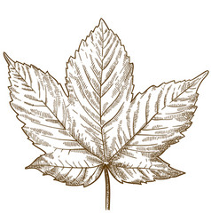 Engraving of maple leaf vector