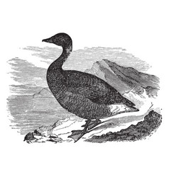 Common brant vintage vector
