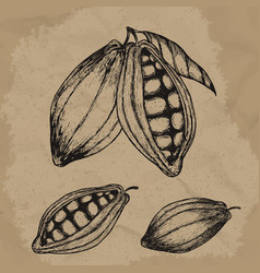 Cocoa beans hand drawn chocolate vector