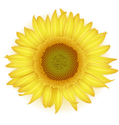 blooming sunflower in realistic style vector image