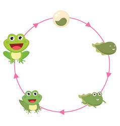 the life cycle of frog vector image