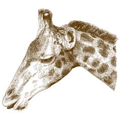 Engraving of giraffe head vector