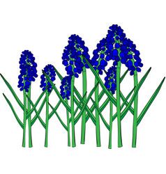 Blue spring flowers a muscari flower or a mouse vector
