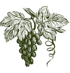Cluster grapes vector
