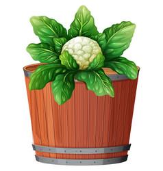 Cauliflower in large pot vector