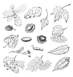Set of isolated Autumn leaves seeds and berries vector