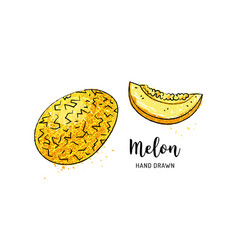 melon fruit drawing watercolor melon on a white vector image