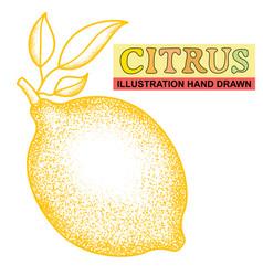 hand drawn citrus vector image