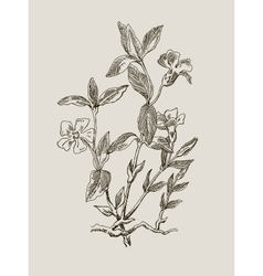 Periwinkle or Vinca minor vintage engraved vector image