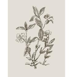 Periwinkle or Vinca minor vintage engraved vector