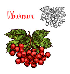 viburnum fruit sketch of red berry and green leaf vector image