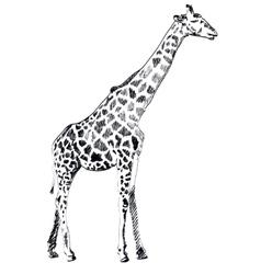 Hand drawn of Giraffe on white vector image vector image