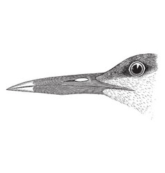 Sandwich tern vintage vector