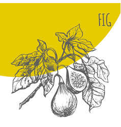 fig fruit botanical sketch plant vector image