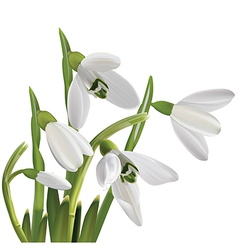 Spring snowdrop flowers bouquet isolated on white vector image