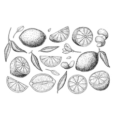 hand drawn lime or lemon set vector image vector image