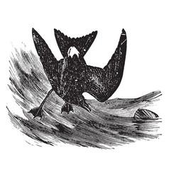 Leach petrel vintage vector