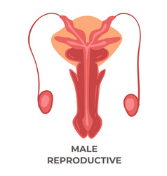 Male reproductive system health care and medicine vector