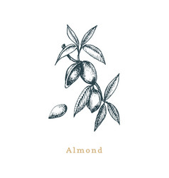Botanical of almond branch seed vector