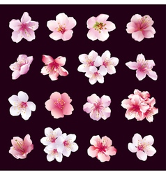 Set of flowers of cherry tree isolated vector