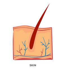 skin organ human body anatomy and biology vector image