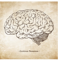 hand drawn anatomically correct human brain vector image