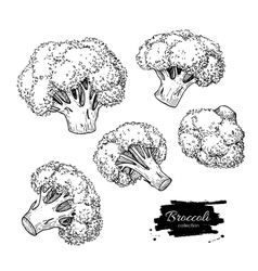 Broccoli hand drawn vector