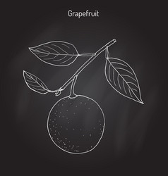 Grapefruit citrus paradisi subtropical citrus vector