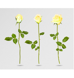 set of yellow rose flower 3d roses vector image