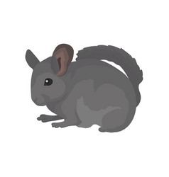 Gray domestic chinchilla rodent with soft fur vector