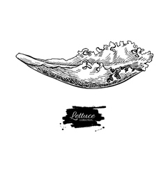 Lettuce hand drawn Vegetable engraved vector image vector image