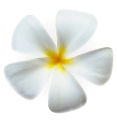 Frangipani plumeria Spa Flower isolated on white vector image
